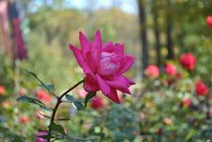 Rosa do rosa no foco Imagens de Stock Royalty Free