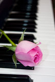 Rosa do rosa no teclado de piano Fotos de Stock