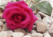 Rosa do rosa que encontra-se nas pedras Fotografia de Stock Royalty Free