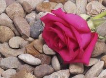 Rosa do rosa que encontra-se nas pedras Imagens de Stock Royalty Free