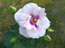 Rosa do roxo, Rose Garden tropical Fotos de Stock Royalty Free