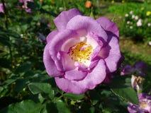 Rosa do roxo, Rose Garden tropical Fotografia de Stock Royalty Free