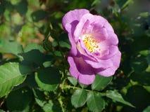 Rosa do roxo, Rose Garden tropical Foto de Stock