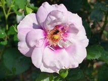 Rosa do roxo, Rose Garden tropical Imagem de Stock