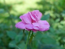 Rosa do roxo, Rose Garden tropical Imagens de Stock Royalty Free