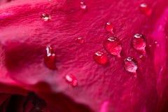 Rosa do vermelho, água da gota fotografia de stock