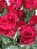 A rosa do vermelho é um símbolo da paixão imagem de stock