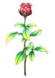Rosa do vermelho Imagens de Stock