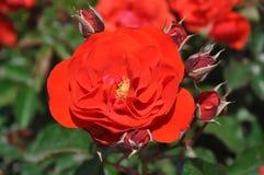 Rosa do vermelho Imagem de Stock