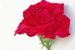 Rosa do vermelho Imagens de Stock Royalty Free