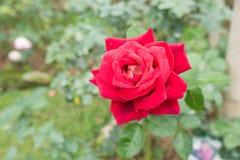 Rosa do vermelho Fotografia de Stock Royalty Free