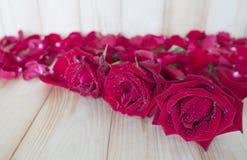 Rosa 81 do vermelho Fotografia de Stock Royalty Free