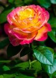 Rosa do vermelho com amarelo Fotografia de Stock