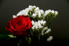 Rosa do vermelho com as flores brancas no fundo escuro Fotos de Stock