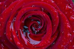 Rosa do vermelho com gotas da chuva nela Fotos de Stock Royalty Free