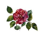 Rosa do vermelho com a pintura original da aquarela das folhas isolada no wh ilustração stock