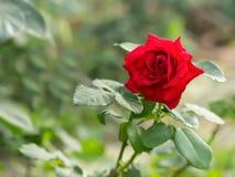 Rosa do vermelho como um fundo natural e dos feriados Imagens de Stock