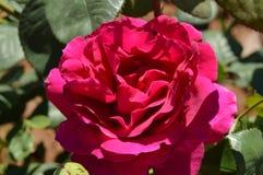 A rosa do vermelho cresce em Bush no jardim Fotos de Stock Royalty Free
