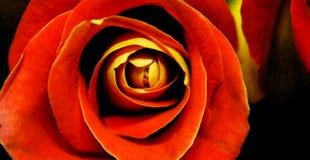 Rosa do vermelho da aquarela Foto de Stock Royalty Free