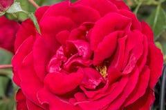 Rosa do vermelho da inflorescência em um fundo das folhas verdes, macro Imagem de Stock