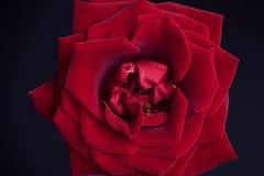 Rosa do vermelho de veludo Fotografia de Stock