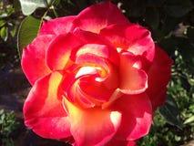 Rosa do vermelho do fogo bonita Fotos de Stock