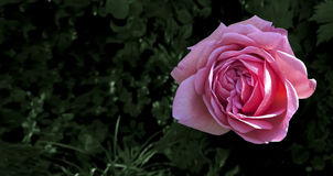 Rosa do vermelho do Valentim na obscuridade - fundo verde Imagens de Stock Royalty Free