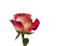 Rosa do vermelho e do amarelo Fotografia de Stock Royalty Free