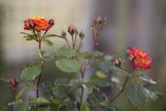 Rosa do vermelho e do amarelo - disfarce Fotografia de Stock