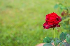 Rosa do vermelho e grama verde Foto de Stock Royalty Free