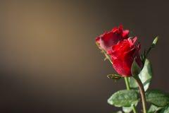 Rosa do vermelho e luz do sol Fotografia de Stock Royalty Free