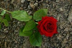 Rosa do vermelho em cinzas cinzentas Imagens de Stock