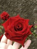 rosa do vermelho em Madeira Fotos de Stock Royalty Free