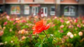 Rosa do vermelho em um fundo de camas de flor Fotos de Stock Royalty Free