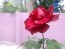 Rosa do vermelho indiano fotos de stock