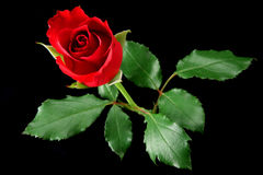 Rosa do vermelho isolada no preto Imagens de Stock