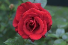 Rosa do vermelho na flor completa Imagens de Stock