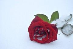 Rosa do vermelho na neve Imagens de Stock Royalty Free