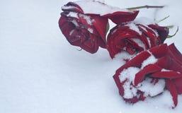 Rosa do vermelho na neve Fotografia de Stock