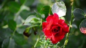 Rosa do vermelho nas gotas da água após a chuva filme