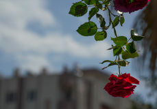 Rosa do vermelho no fundo do céu azul Imagens de Stock Royalty Free