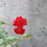 Rosa do vermelho no jardim fotos de stock royalty free