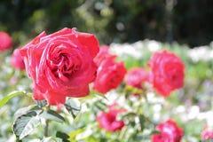 Rosa do vermelho no jardim Imagens de Stock