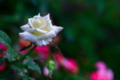 Rosa do vermelho no jardim Fotografia de Stock Royalty Free