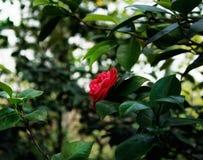 Rosa do vermelho no jardim botânico de St Petersburg imagem de stock