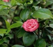 Rosa do vermelho no jardim botânico de St Petersburg imagem de stock royalty free