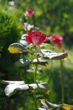 Rosa do vermelho que cresce em um jardim Imagem de Stock Royalty Free