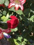 Rosa do vermelho que luta por uma possibilidade brilhar Imagem de Stock