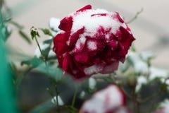 Rosa do vermelho sob a neve fotos de stock royalty free