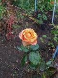 A rosa do vermelho sweeming em luzes do sol foto de stock royalty free